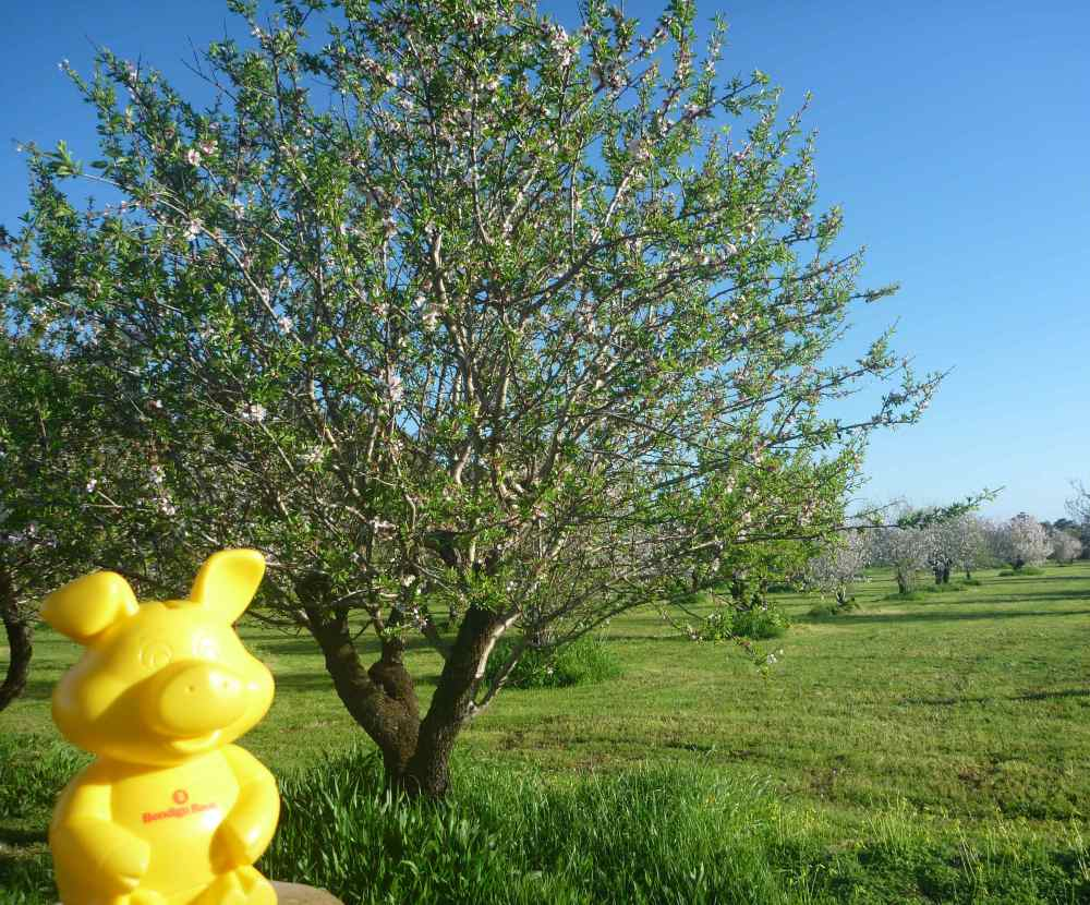 piggy almond grove 2