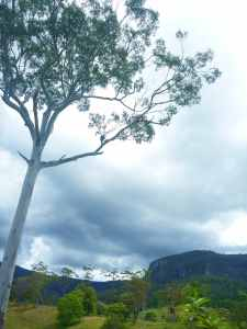 famunity gum tree