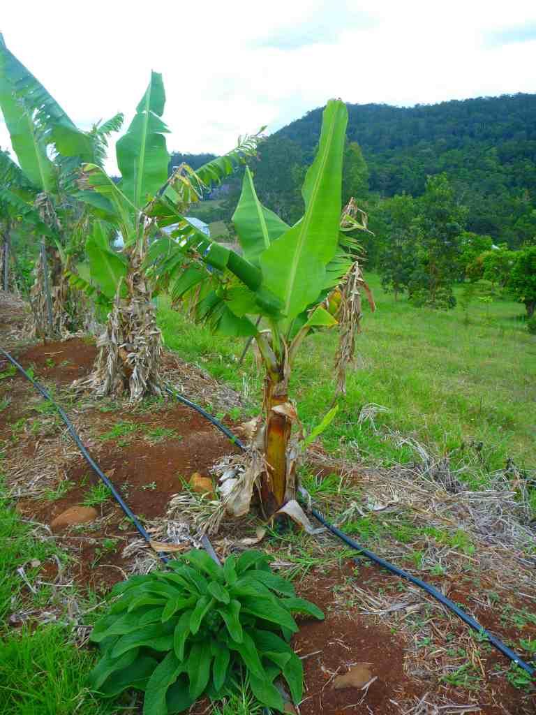 the famunity banana swale 2