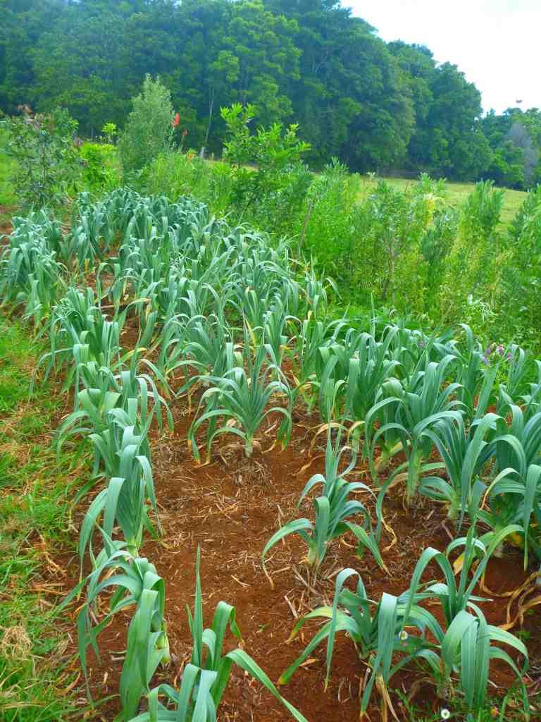 the famunity garlic swale