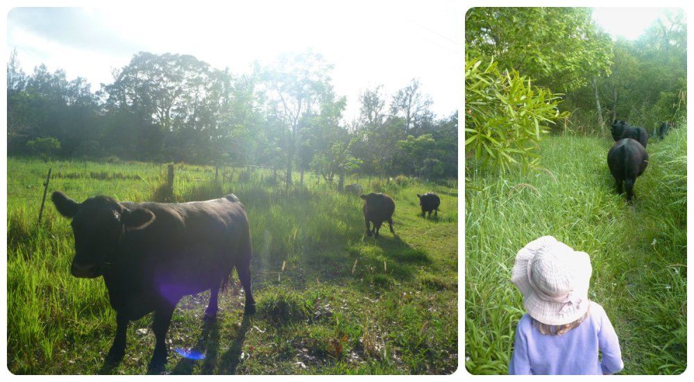 collage cows