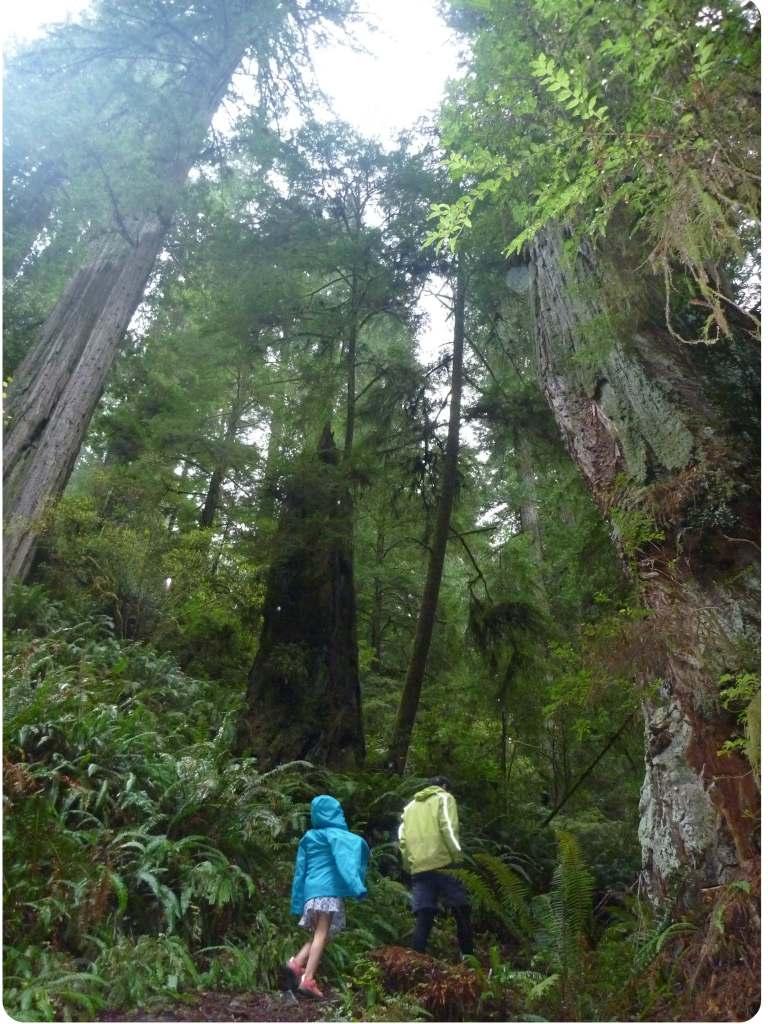 emma mic loop walk redwoods
