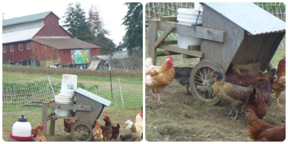 collage zenger farm 3 chooks